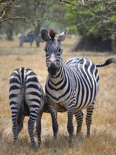 Backpacken Oeganda safari