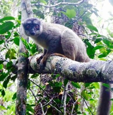 Brown Lemur in Madagscar