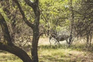 Cullinan zebra quad