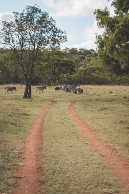 Cullinan zuid afrika zebra's