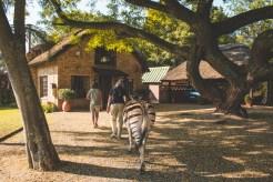 Cullinan Zebra
