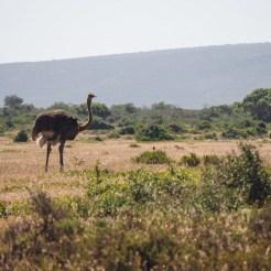 De Hoop struisvogel Zuid-Afrika