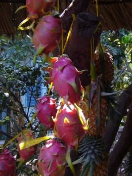 Dragon fruit nicaragua