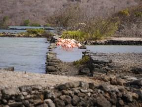 Flamingo's curacao