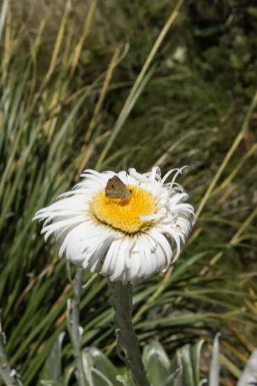 Hooker Valley Track Nieuw Zeeland bloem