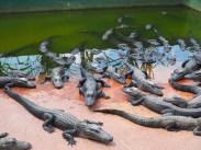 alligator farm everglades