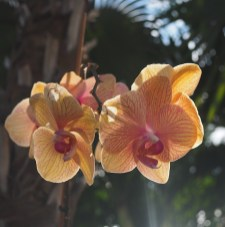 Sunset Key orchidee