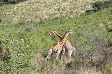 PIlanesberg Zuid Afrika giraffen-3