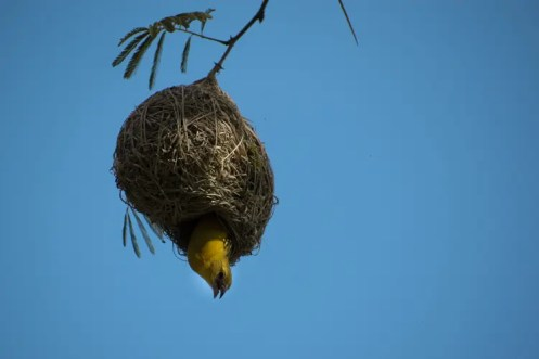 PIlanesberg Zuid Afrika vogeltje nestje