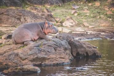 PIlanesberg in Zuid Afrika baby nijlpaard