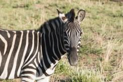 PIlanesberg ivory tree lodge zebra