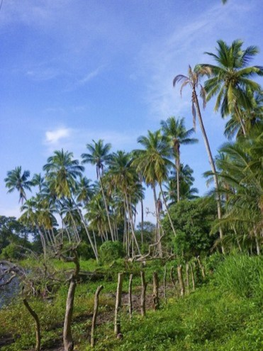 Palmbomen ometepe nicaragua