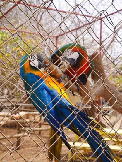 Papegaaien bij de struisvogel farm curacao