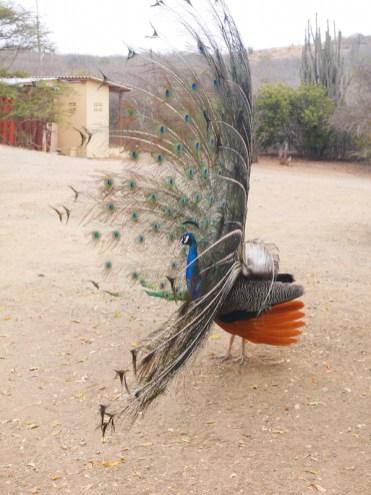 Pauw bij struisvogel farm curacao bezoeken