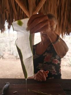 Slijmerige aloe vera plantage curacao