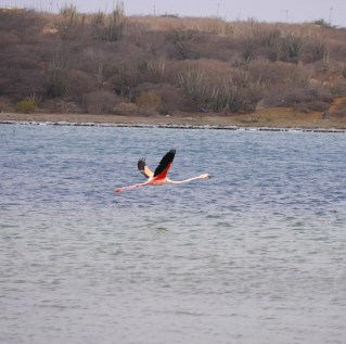 Vliegende flamingo curacao