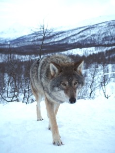 Wolf in noorwegen