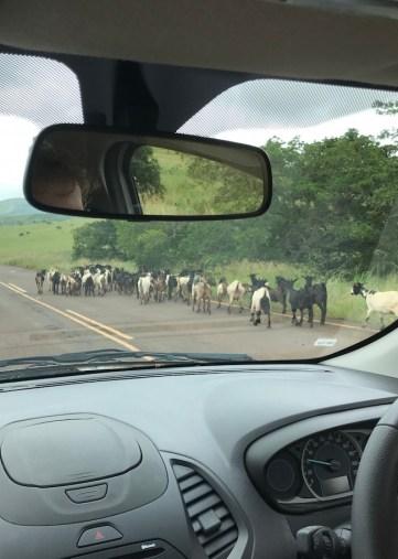 geiten op de snelweg