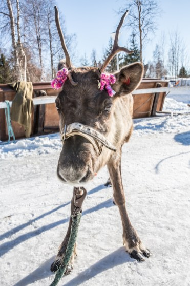 rendier lapland