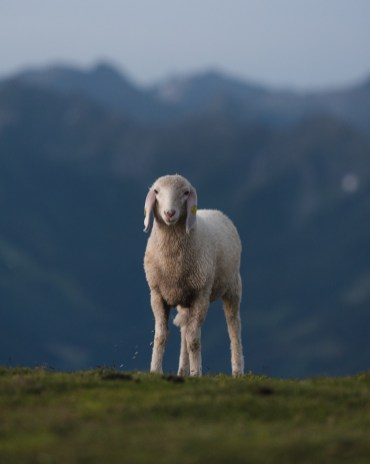 schladming dachstein schapen oostenrijk-28