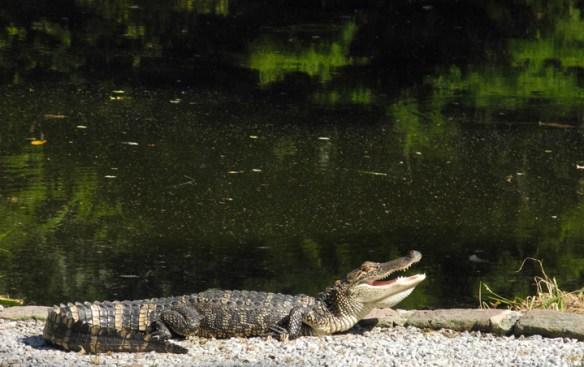 Gator_SC_A