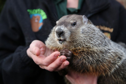 Staten Island Chuck, the resident weather groundhog at the Staten Island Zoo.  Image Credit: SILive