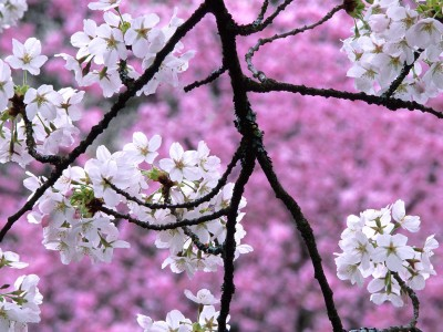 cherry-blossom-wallpaper_e2aw33gc