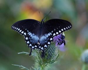 butterfly  Papilio-troilus