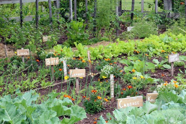 15114379-Vegetable-garden-Stock-Photo-vegetables