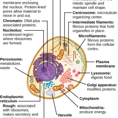 Animal Cell Coloring Diagram Answers Cat Muscle Anatomy Organization Of Eukaryotic Cells