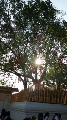 Hier der heilige Bhodi-Baum !