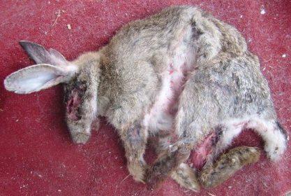et des progressistes en peau de lapin...