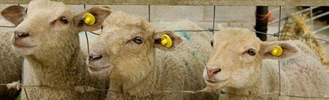 Identificazione Tracciamento bestiame Rfid