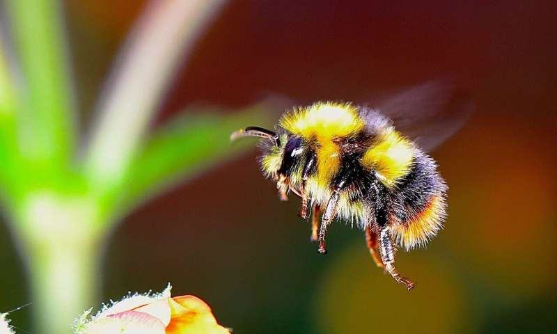 Bumblebees Show Traces Of Consciousness, As Per A New Study - Webby Feed