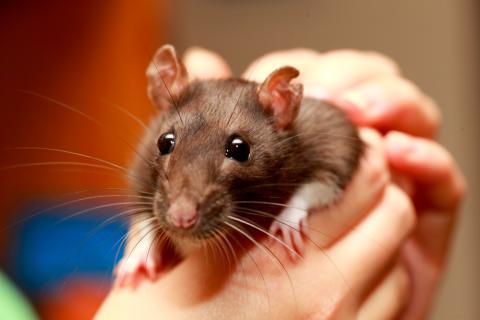 Cómo se contagia el Hantavirus: causas de la infección en humanos