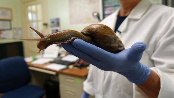 escargots géants