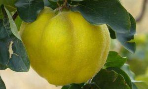 Ayva Yaprağı Çayının Faydaları Nelerdir? Nasıl Demlenir?