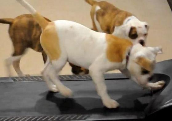 bulldogs on parade watch these bulldog puppies running on a
