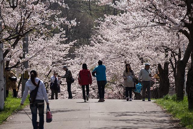美唄 東明公園の桜