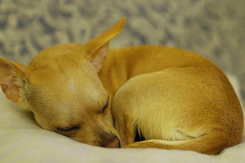 more Chihuahua Photos