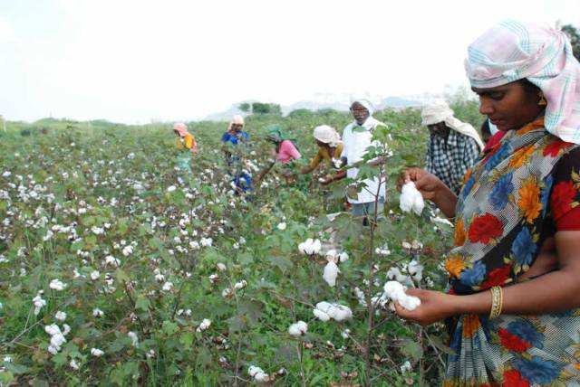 Picking cotton in India