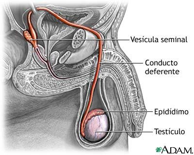 La eyaculación en el sexo masculino   Webscolar
