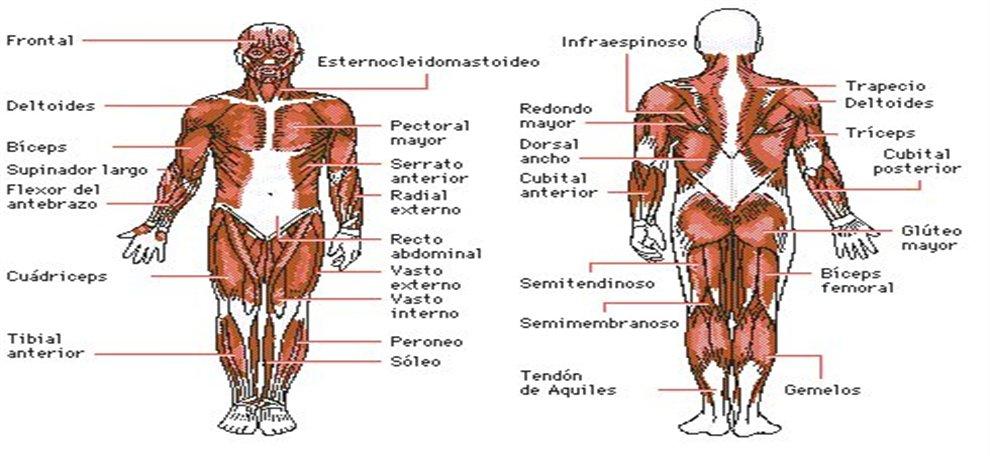 Generalidades del Sistema Muscular | Webscolar