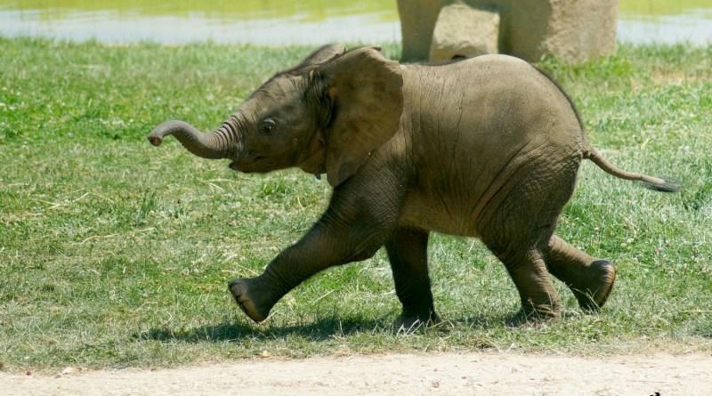 bebe-elephant-makeba-african-safari-plaisance-du-touch