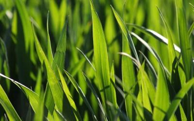 Barleygrass