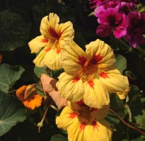 This looks like hibiscus, but it didn't have a long pistil as hibiscus does.