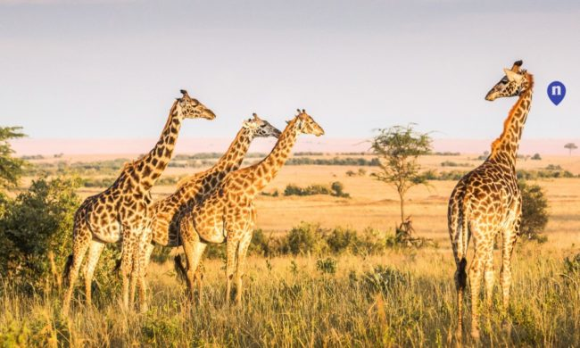 "giraffe-top-honeymoon-destinations-nemo-travel ""width ="" 650 ""peak ="" 390 ""srcset ="" https://www.weddingideasmag.com/wp-content/uploads/2019/11/giraffe-top-honeymoon -destinations-nemo-travel-650x390.jpg 650w, https://www.weddingideasmag.com/wp-content/uploads/2019/11/giraffe-top-honeymoon-destinations-nemo-travel-300x180.jpg 300w, https : //www.weddingideasmag.com/wp-content/uploads/2019/11/giraffe-top-honeymoon-destinations-nemo-travel-768x461.jpg 768w, https://www.weddingideasmag.com/wp-content/ uploads / 2019/11 / giraffe-top-honeymoon-destinations-nemo-travel.jpg 1000w ""sizes ="" (max-width: 650px) 100vw, 650px ""/></p data-recalc-dims="