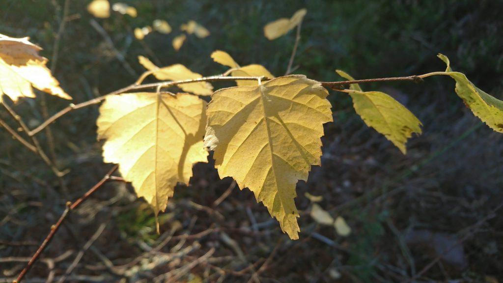 Sunlight hitting light yellow birch leaves