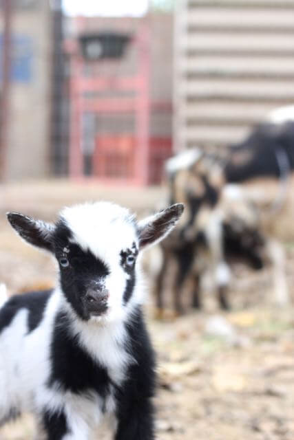 Our Baby Goats are Born