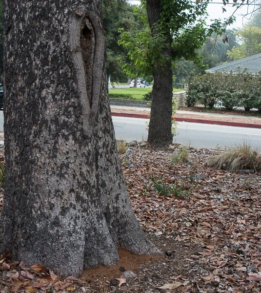 Debris dropped by ants in avocado tree